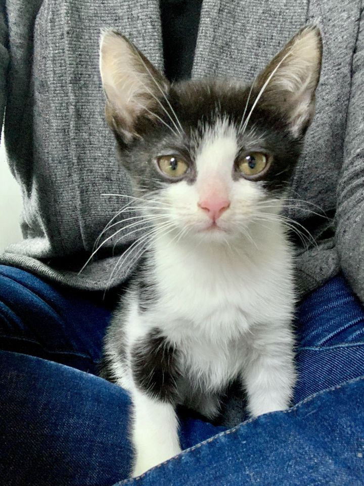 Minnow, an adopted Domestic Short Hair in Jersey City, NJ