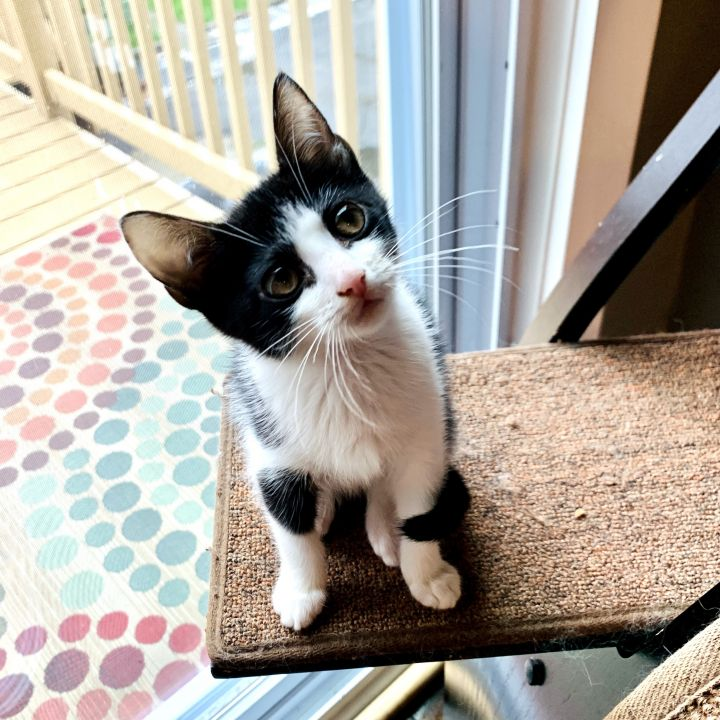 Minnow, an adoptable Domestic Short Hair in Jersey City, NJ