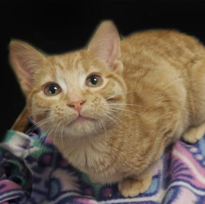 Ginger, an adoptable American Bobtail & Domestic Short Hair Mix in Verona, WI