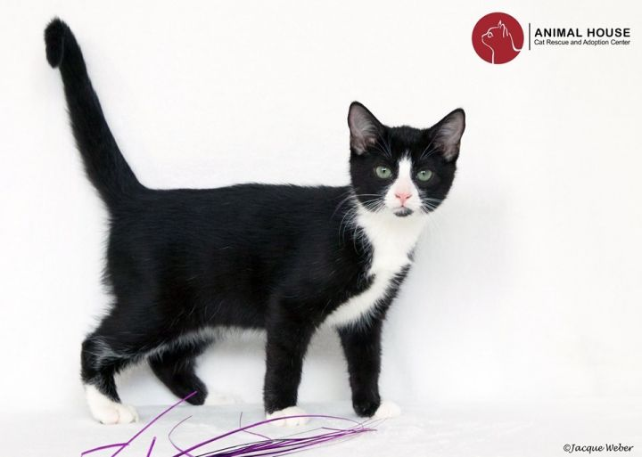 Orville, an adoptable Domestic Short Hair in St. Louis, MO