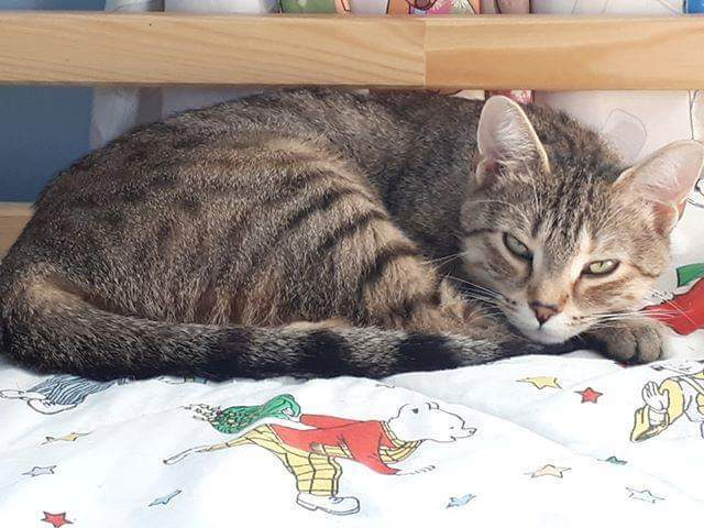 Gypsy, an adopted Domestic Short Hair & Tabby Mix in Stratford, ON