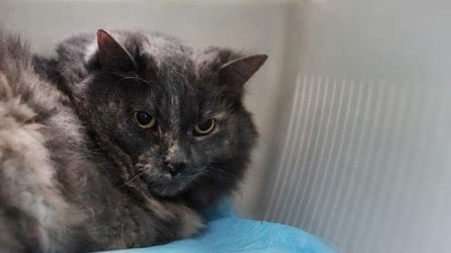 Lily, an adoptable Dilute Tortoiseshell in Stratford, ON