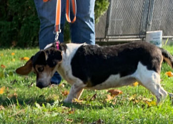 Inky, an adopted Beagle in West Decatur, PA