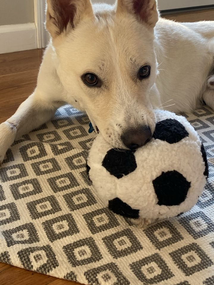 Henley, an adopted Labrador Retriever & German Shepherd Dog Mix in White Plains, NY