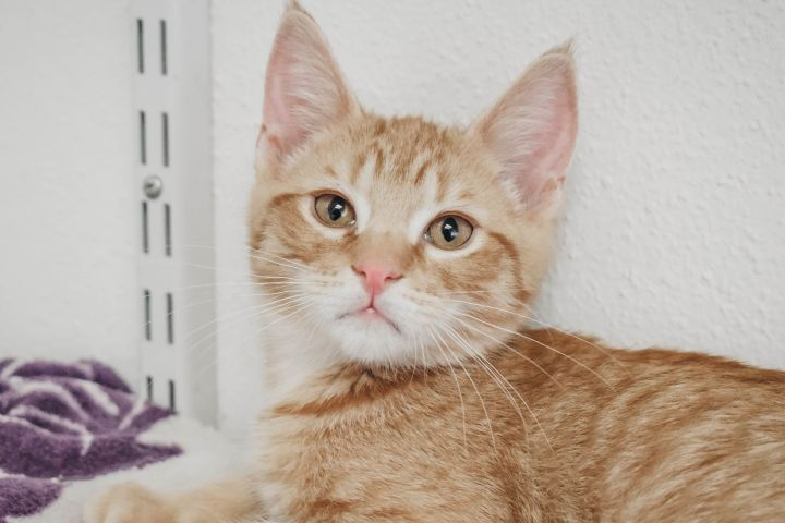 OJ, an adopted Domestic Short Hair Mix in Longview, WA