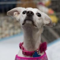 Visa, an adoptable Chihuahua Mix in Kennewick, WA