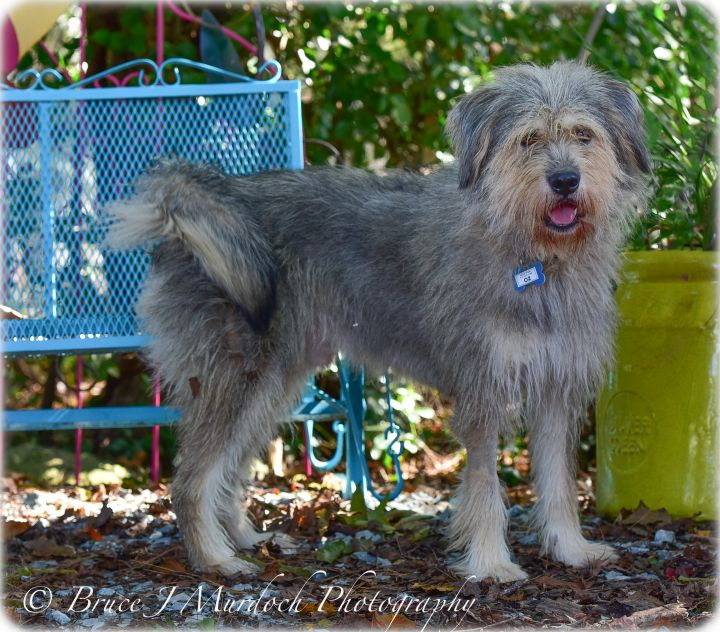 Oz, an adopted Wheaten Terrier Mix in Wake Forest, NC_image-1