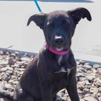 Aquarius, an adoptable German Shepherd Dog Mix in Kennewick, WA