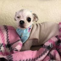 Chelsea, an adoptable Maltese Mix in Kennewick, WA