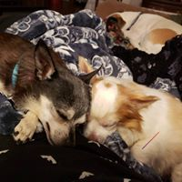 Dax, an adoptable Chihuahua Mix in Kennewick, WA