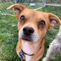 UrZah, an adopted Chihuahua Mix in Kennewick, WA