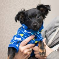 Renegade, an adoptable Chihuahua Mix in Kennewick, WA