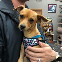 Mariko, an adoptable Chihuahua Mix in Kennewick, WA