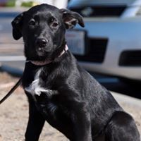Gemini, an adopted German Shepherd Dog Mix in Kennewick, WA