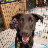 Solar, an adoptable German Shepherd Dog Mix in Kennewick, WA