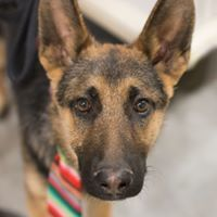 Charlie, an adoptable German Shepherd Dog Mix in Kennewick, WA