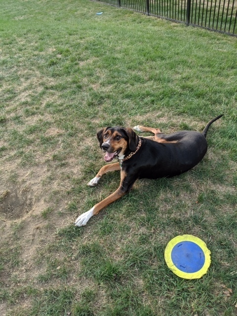 Mocha, an adoptable Hound Mix in New Albany, OH