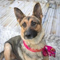 Snickers, an adopted German Shepherd Dog Mix in Kennewick, WA