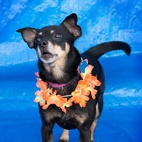 Cola, an adoptable Chihuahua Mix in Kennewick, WA
