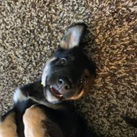 Radiant, an adoptable German Shepherd Dog Mix in Kennewick, WA