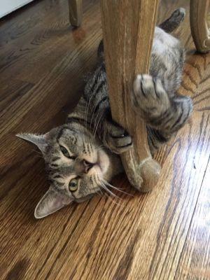 Misty Tabby Cat