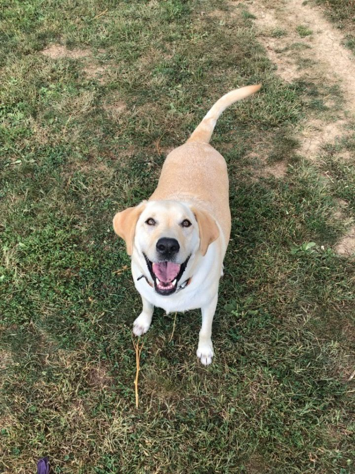 Max, an adopted Labrador Retriever in South Charleston, OH