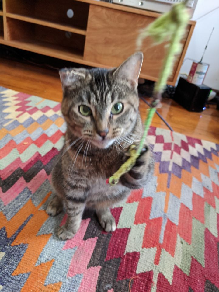 Spelt, an adoptable Domestic Short Hair in Brooklyn, NY