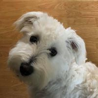 Teddy, an adoptable Coton de Tulear Mix in Kennewick, WA