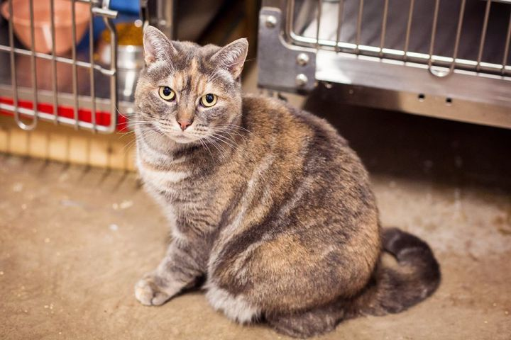 Kate, an adoptable Domestic Short Hair in Amherst, NS