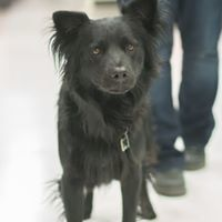 Sirius, an adoptable Border Collie Mix in Kennewick, WA