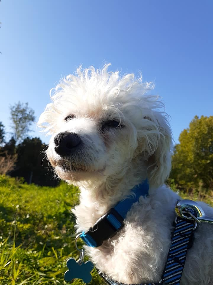 Firecracker, an adoptable Poodle Mix in Kennewick, WA