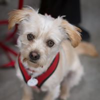 Merlot, an adopted Terrier Mix in Kennewick, WA