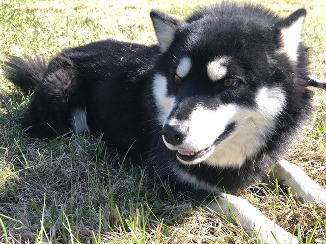 Wyatt, an adopted Husky Mix in Cynthiana, KY