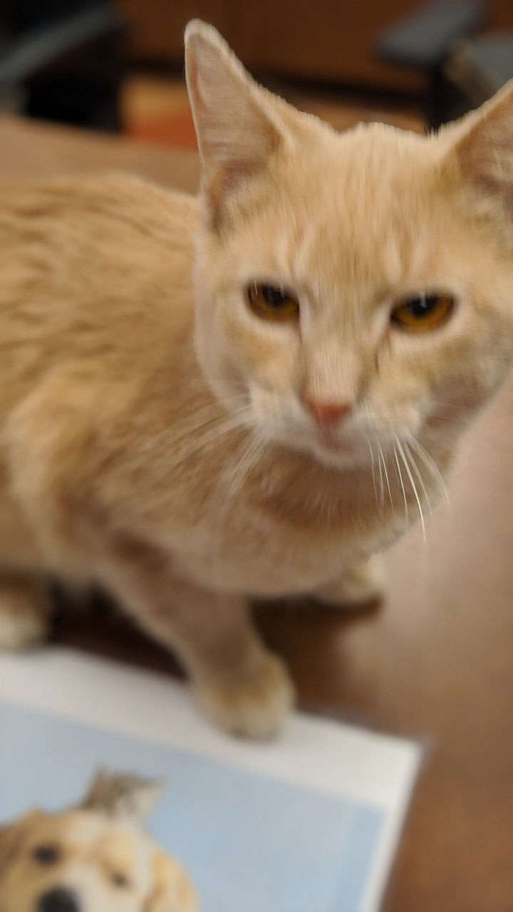 Slim Shady, an adoptable Domestic Short Hair in Appleton, WI