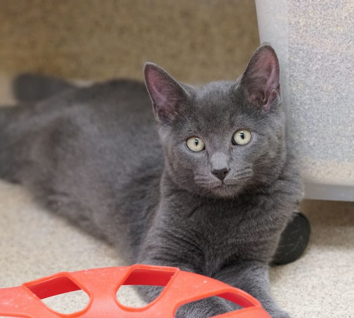 Starlord aka Capt Stubbs, an adoptable Domestic Short Hair in Naperville, IL