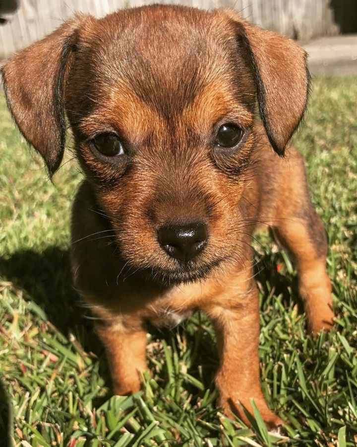 Chiweenie/Terrier mix puppies, an adopted Chihuahua & Dachshund Mix in Mary Esther, FL