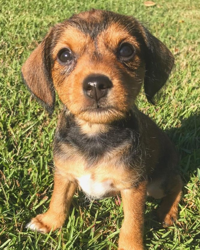 Chiweenie/Terrier mix puppies