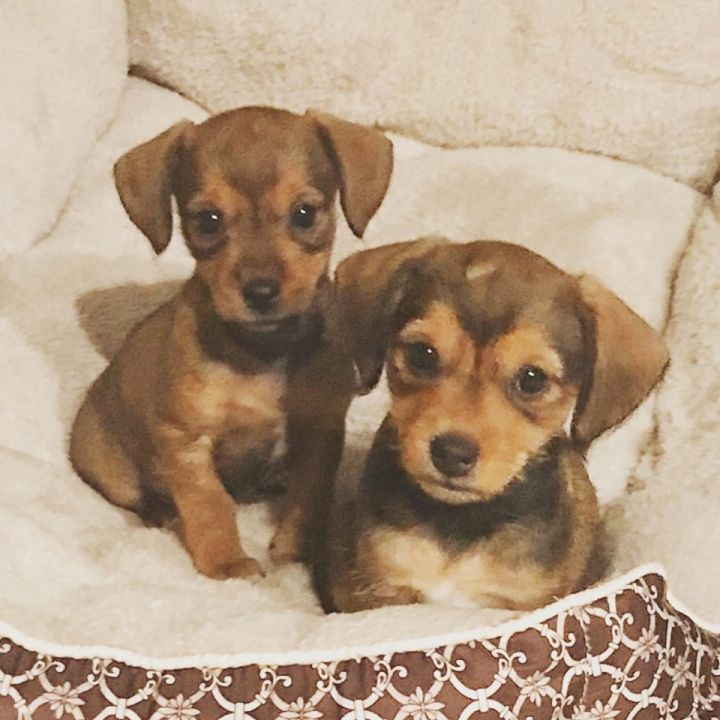 Chiweenie/Terrier mix puppies 3