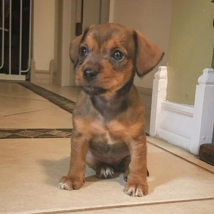 Chiweenie/Terrier mix puppies 4