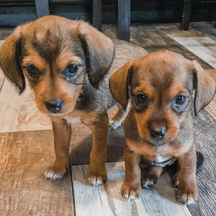 Chiweenie/Terrier mix puppies 5
