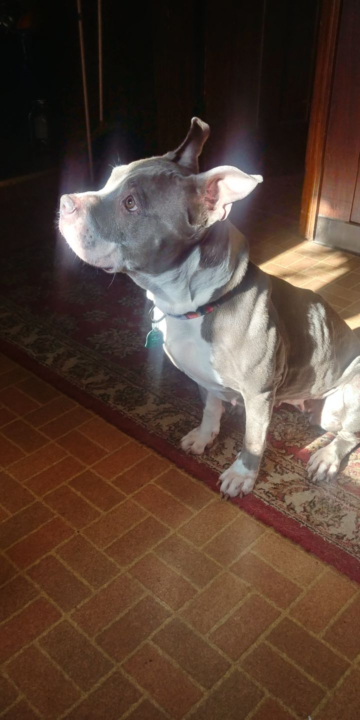 Bella, an adoptable Pit Bull Terrier in Natick, MA