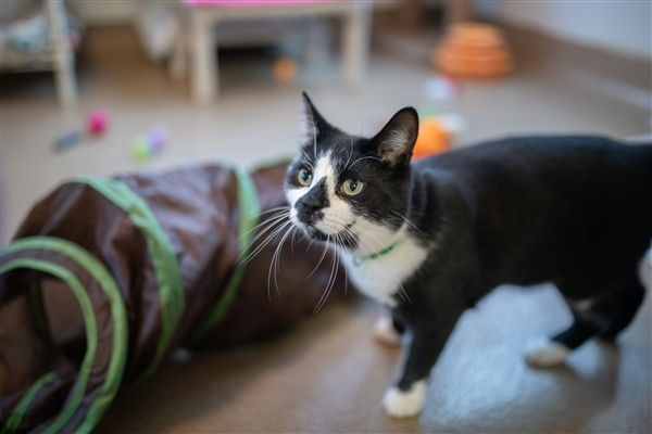 Sy, an adoptable Domestic Short Hair Mix in Columbus, OH