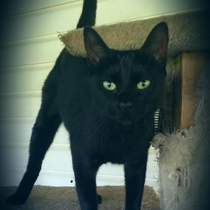 Obsidian, an adoptable Domestic Short Hair in Carencro, LA