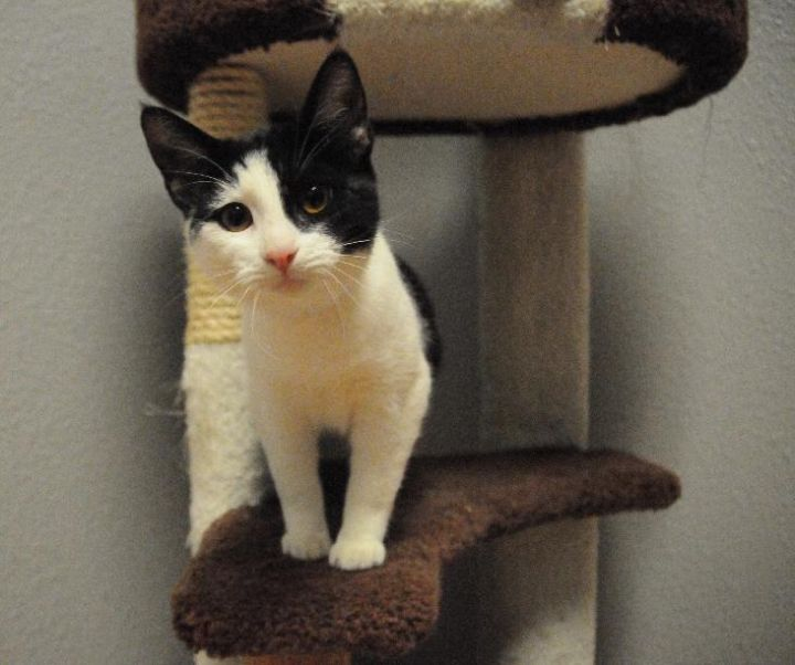 Pebbles, an adoptable Domestic Short Hair in Jamestown, CA