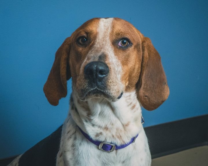 Walker, an adopted Treeing Walker Coonhound in Bellingham, WA