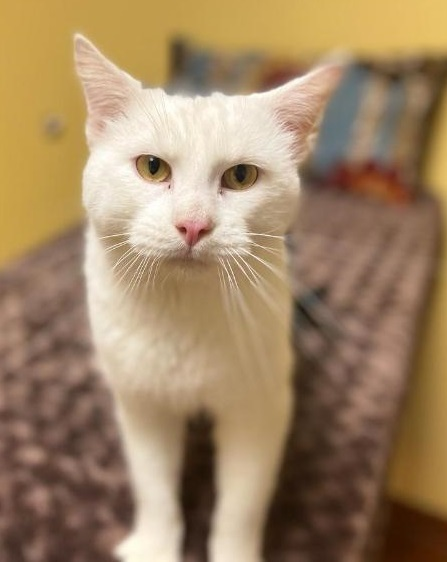 Niles ADOPTED:), an adopted Domestic Short Hair in Waverly, IA