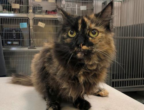 Cali, an adoptable Tortoiseshell & Domestic Long Hair Mix in Springfield, OR