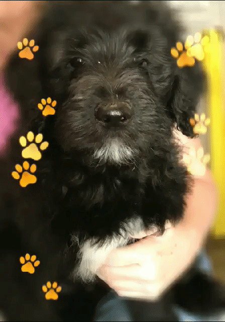 Dog For Adoption Tallulah A Pointer Poodle Mix In