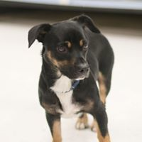 Jewel, an adoptable Dachshund Mix in Kennewick, WA