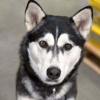 Vader, an adoptable Husky Mix in Kennewick, WA